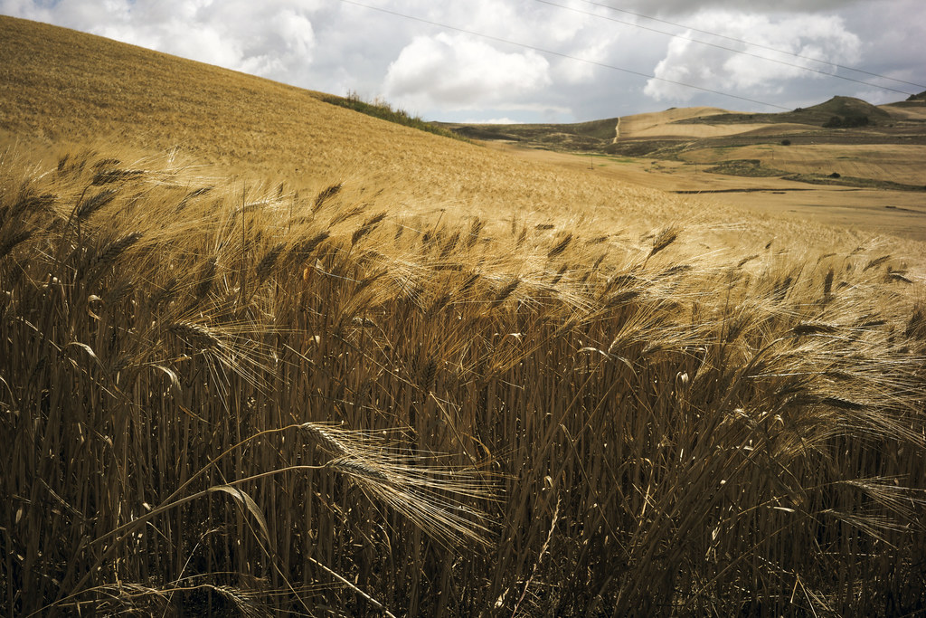 Sicilian wheat | by ADMurr