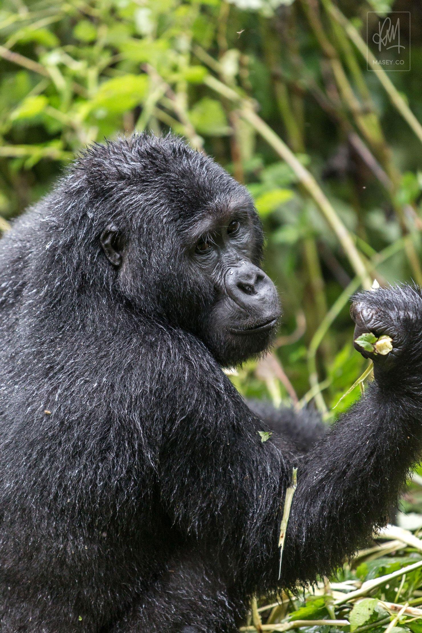 Intimidatingly handsome gorilla