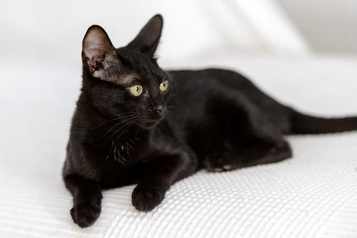 Bombón, gatita negra monísima y dulce esterilizada, nacida en Marzo´18 en adopción. Valencia. RESERVADA. 42538877115_c65ab7cf98