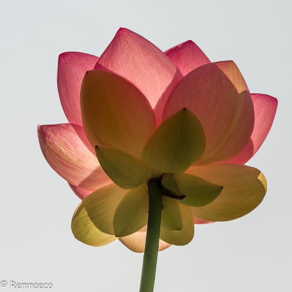Fleur De Lotus transparences - fleur de lotus | parc des gayeulles - rennes… | flickr