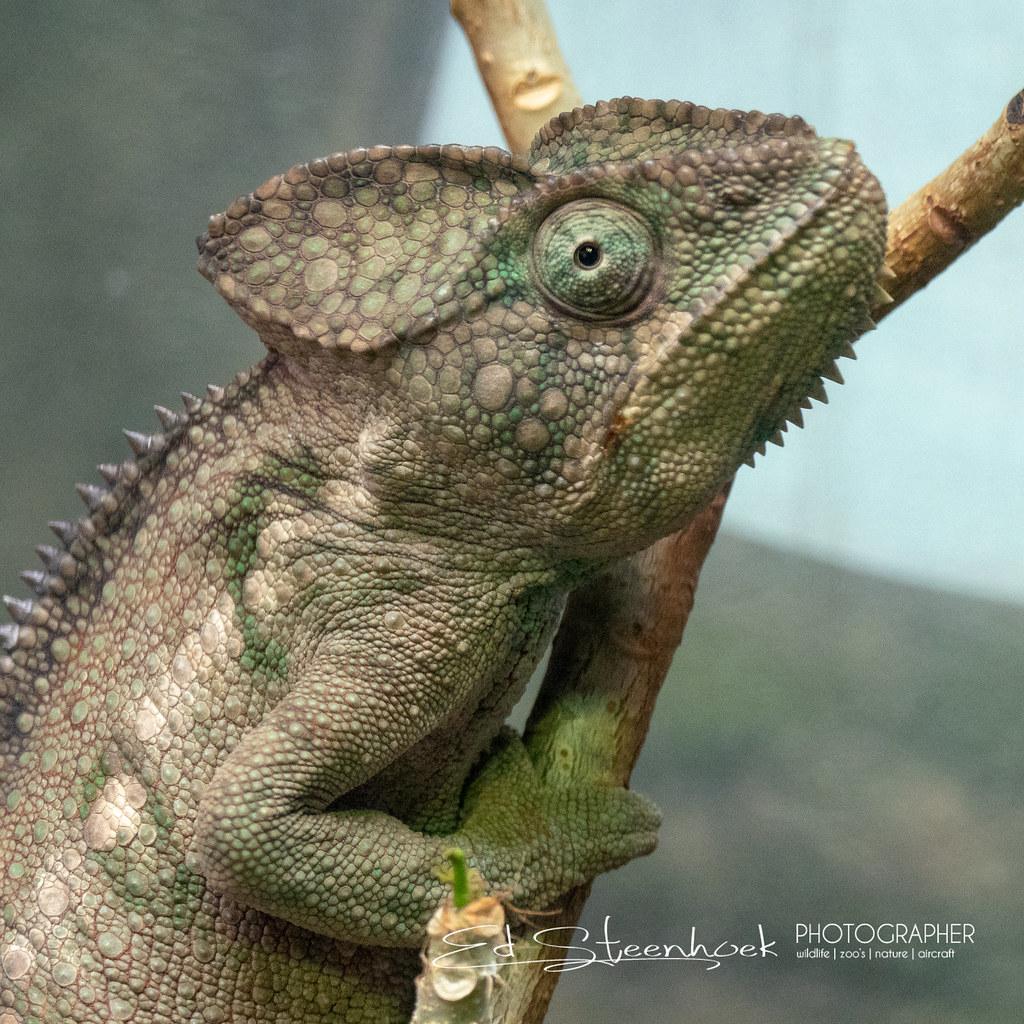 Fischers chameleon kinyongia fischeri olympus digital c flickr fischers chameleon kinyongia fischeri by ed steenhoek thecheapjerseys Images