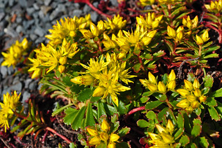 Green Roof (8) | by A Tidewater Gardener