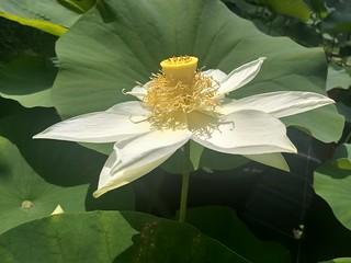 Nelumbo Shirokunshi Tulip Lotus