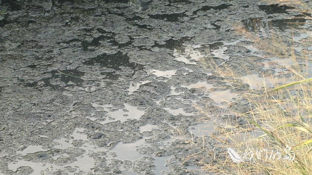 962-1-24ss畜牧場廢水從放流口排出後,流入田間水圳,一路通往大排,流經村莊,這裡是雲林縣大埤鄉的豐田村。