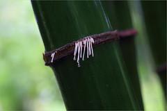 ...monsoon melody: bamboo-song...