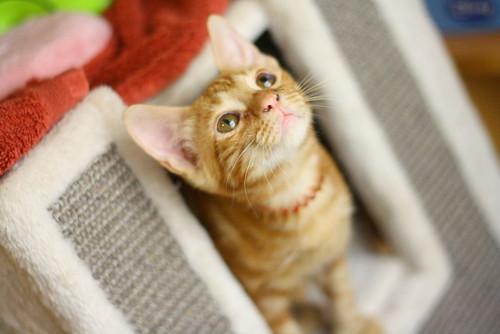 Rowen, gato rojo dibujo tabby activo y guapo esterilizado nacido en Abril´18, en adopción. Valencia. ADOPTADO. 28970410587_874548d70b