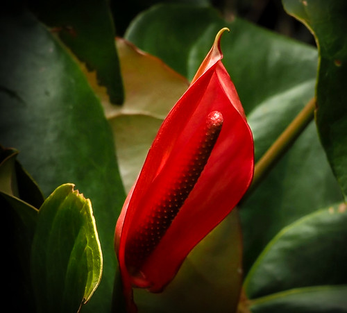 Anthurium Xavia Nairobi | by Phil Gate Keeper
