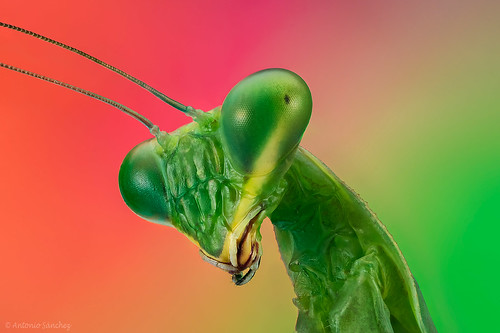 Mantis | by asanchezn