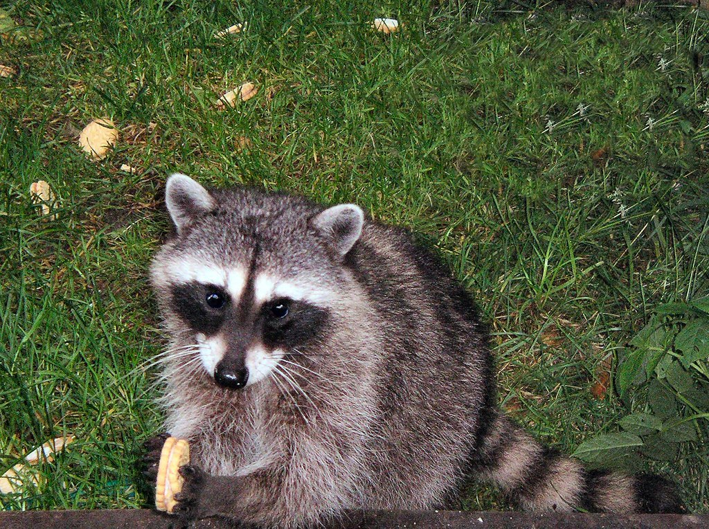 ... Raccoon With Cookie 01 | By Hyak82