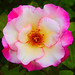 """""""A rose is a rose is a rose."""""""