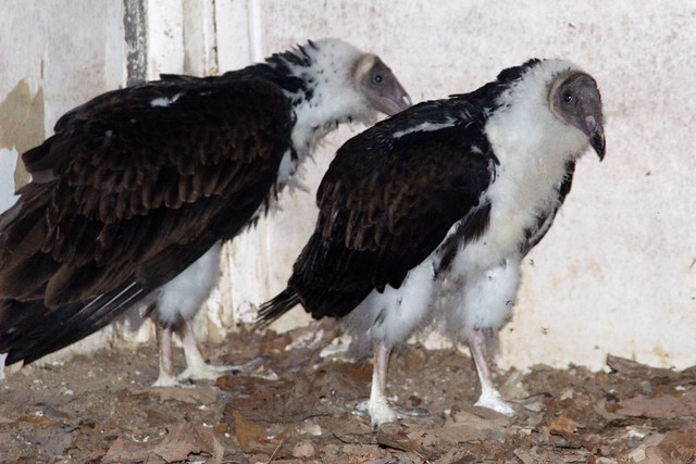 Baby Vultures | Flickr - Photo Sharing!