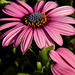 'Painting' of African Daisy from Lowe's