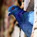 Pigeon Face5