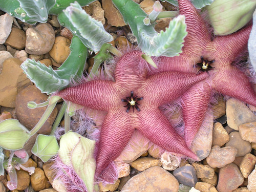 "Stapelia scitula Starfish Flower: 2.5"" Pot: Logee's Plants"