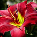 Red Green Daylily