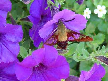 hummingbird moth | by ysaleth