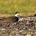 Masked Lapwing (Spur-winged Plover) 2 of 4