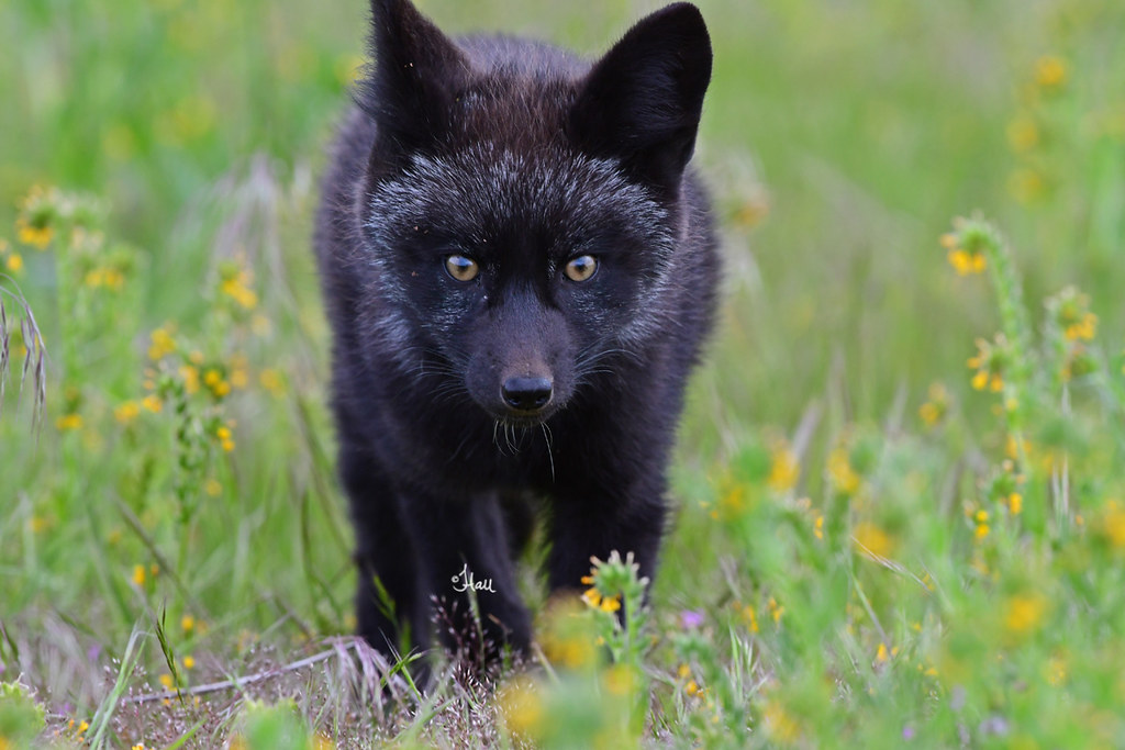 Silver fox kit - photo#45