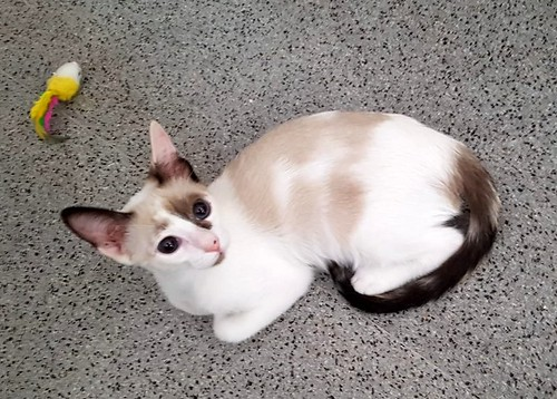 Bora, gatita Siamesa tricolor traviesa y monísima esterilizada, nacida en Marzo´18, en adopción. Valencia. RESERVADA. 43002641425_d958acd8c4