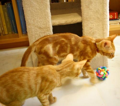 Rowen, gato rojo dibujo tabby activo y guapo esterilizado nacido en Abril´18, en adopción. Valencia. ADOPTADO. 43907614651_f8f1e19b16