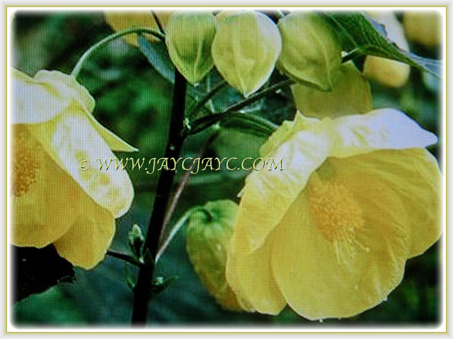 Mesmerising yellow flowers of abutilon canary bird flickr mesmerising yellow flowers of abutilon canary bird by jayjayc mightylinksfo
