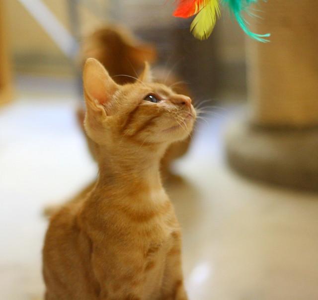 Rohit, gatito naranja cojito súper dulce y bueno, nacido en Abril´18, en adopción. Valencia. RESERVADO. 43002660785_d64e4dee89_z
