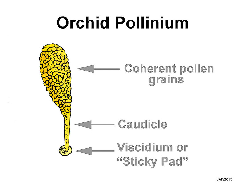 Drawing of a Platanthera pollinium