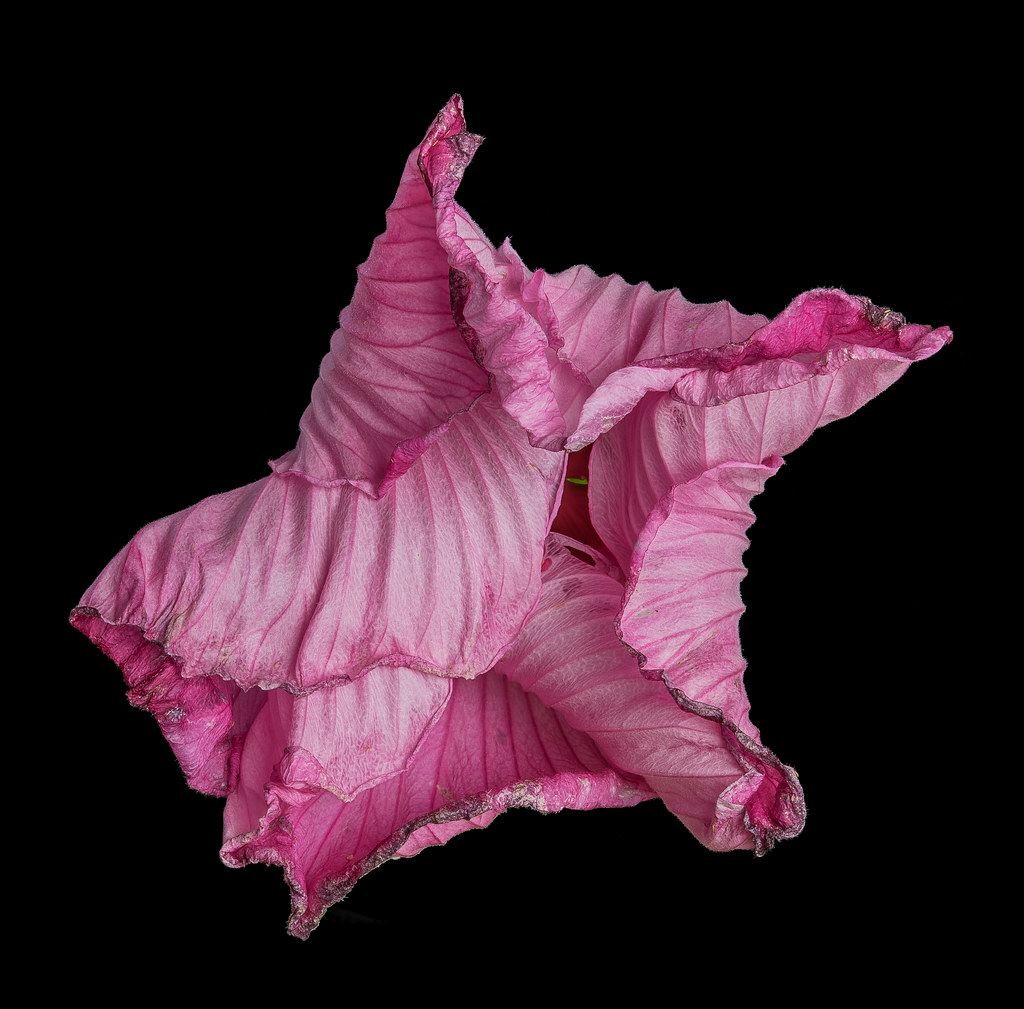 Pink hibiscus origami 1 2018dsc7732 copy 1 a 3 c 1 flickr pink hibiscus origami 1 2018dsc7732 copy 1 a 3 c izmirmasajfo