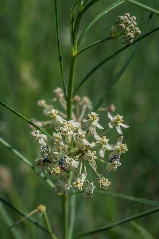Horsetail Milkweed