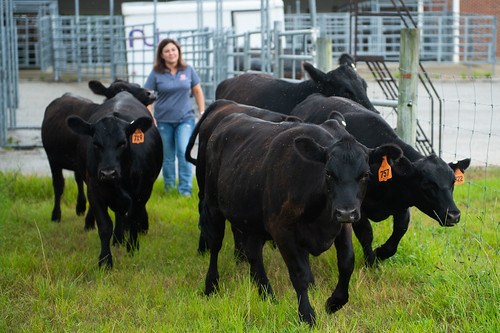 Christy Bratcher works with cattle outside