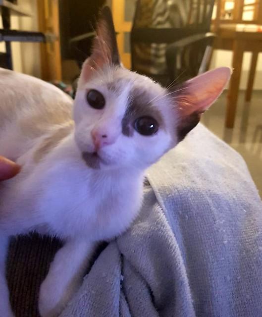 Bora, gatita Siamesa tricolor traviesa y monísima esterilizada, nacida en Marzo´18, en adopción. Valencia. RESERVADA. 43907489281_35b9baa6f6_z