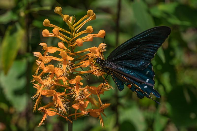 Butterfly polliination