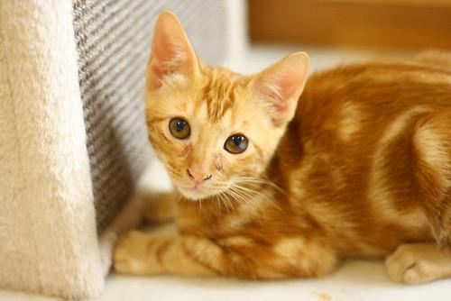 Rowen, gato rojo dibujo tabby activo y guapo esterilizado nacido en Abril´18, en adopción. Valencia. ADOPTADO. 42098402970_8281e01aa7