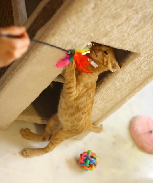 Rohit, gatito naranja cojito súper dulce y bueno, nacido en Abril´18, en adopción. Valencia. RESERVADO. 43188757824_0c57f606ca_z