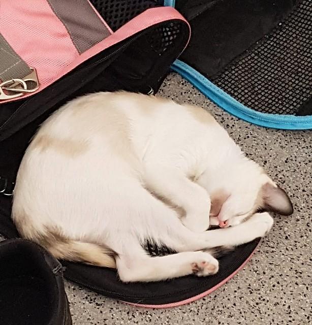 Bora, gatita Siamesa tricolor traviesa y monísima esterilizada, nacida en Marzo´18, en adopción. Valencia. RESERVADA. 43907488151_ff5b4eac9e_z