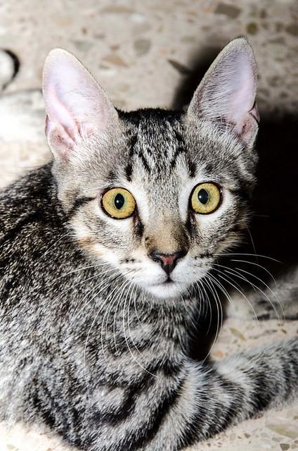 Bonnie, gatita parda monísima y muy lista esterilizada, nacida en Marzo´18, en adopción. Valencia. 42744435565_e323013df0_z