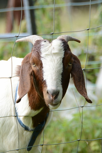 Foolish Goat | by Clint__Budd
