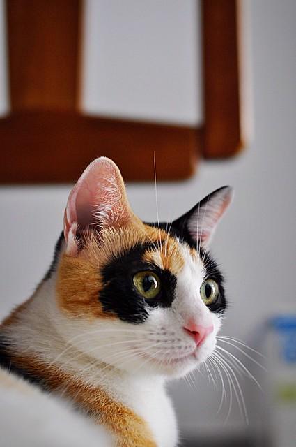 Ishtar, gatita tricolor Calicó súper cariñosa y juguetona esterilizada, nacida en Julio´17, en adopción. Valencia. 42918638894_bc2240500d_z