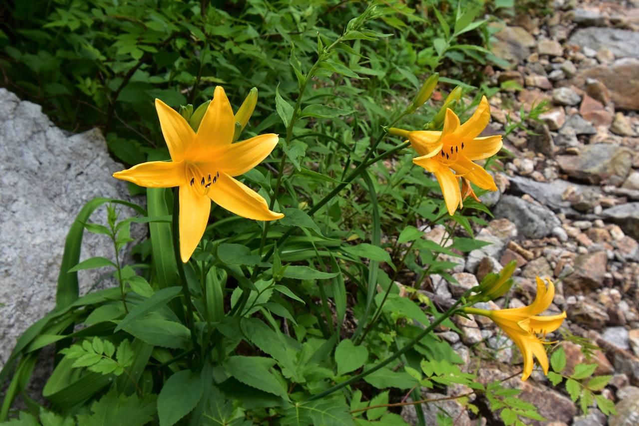 北アルプスに咲くニッコウキスゲ
