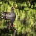 Swamp Chicken