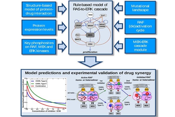 Rule-based model of RAS-to-ERK cascade also showing model predictions and experimental validation of drug synergy