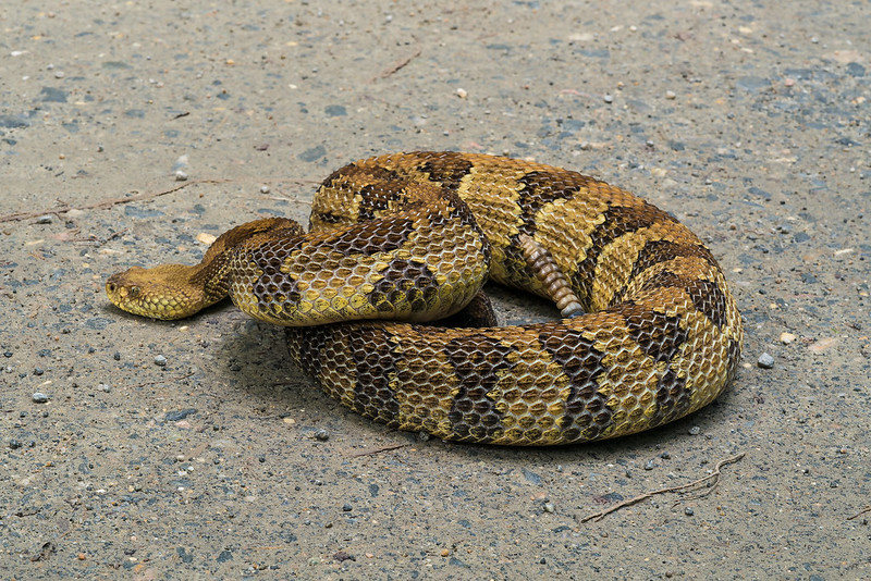 Timber/Canebrake Rattlesnake just before it left the road for the woods