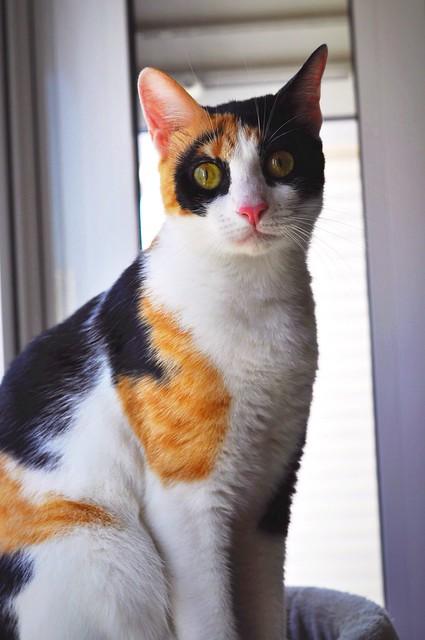 Ishtar, gatita tricolor Calicó súper cariñosa y juguetona esterilizada, nacida en Julio´17, en adopción. Valencia. 42918618264_978002f367_z