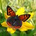 Lycaena phlaeas / Kleine Vuurvlinder