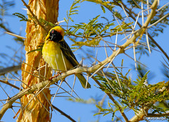 Masked Weaver in Paperbark Thorn Tree | by Martin_Heigan
