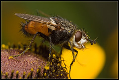 Fly on a rudbeckia | by matth30