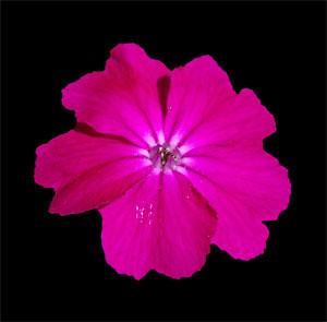 Pink Flower Against Black Background | Rana Ravens | Flickr