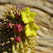 Hoodia grandis flowers