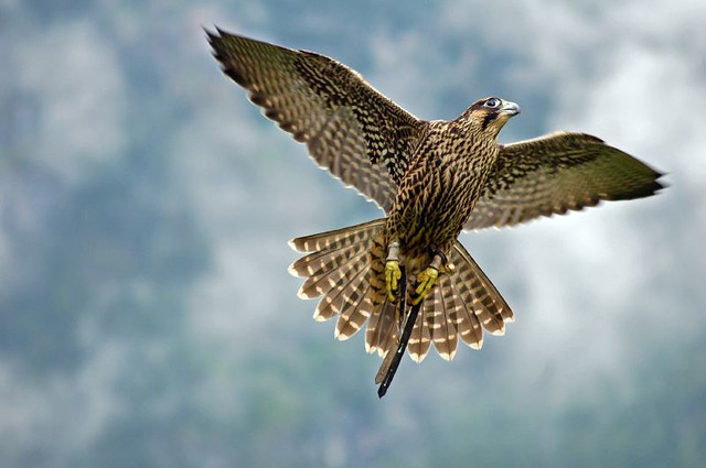 Falcon flying | I shot several hundred of pictures on a ...