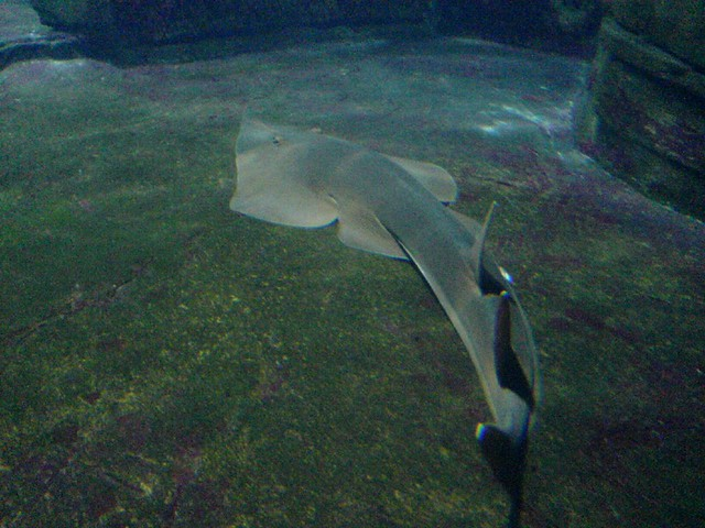 kind of flat shark   Fausto   Flickr